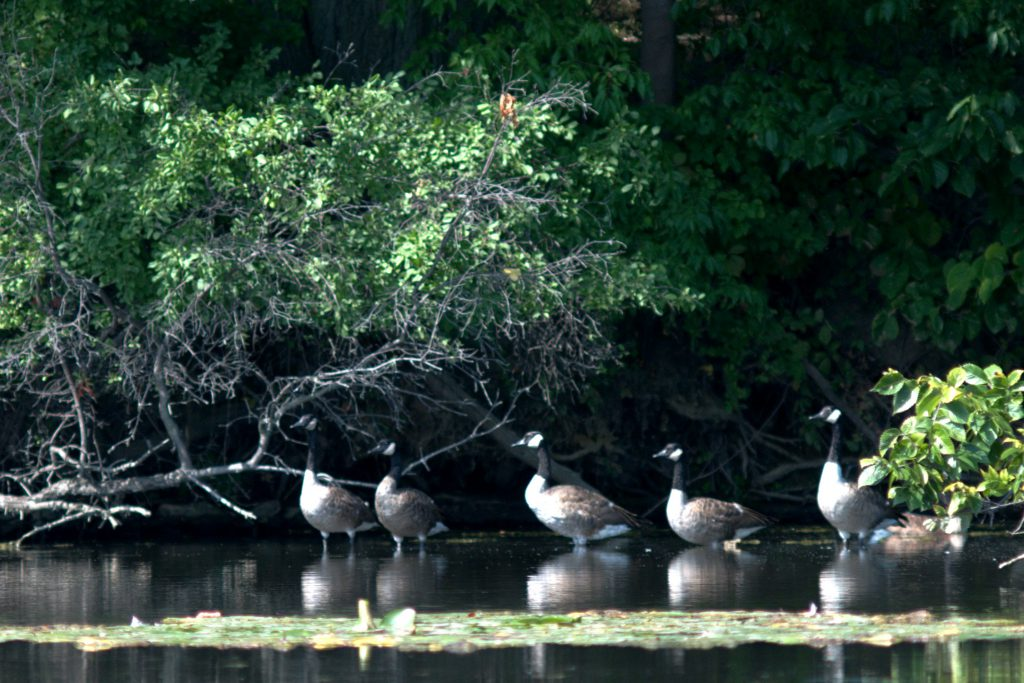 Geese hanging out in the shade on Red Mill Pond
